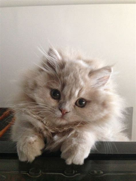 Doll Face Persian Kittens For Sale London  Popular Breeds