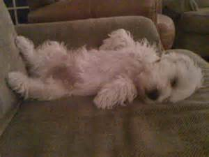 shihapso puppies shih tzu lhasa apso mix breed puppies for