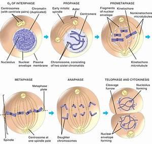 Diagram  Stages Mitosis Diagram Label