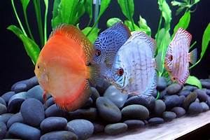 New Discus in my 300 Gallon