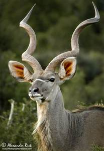 Greater Kudu South Africa Animals