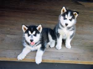 Cute Little Puppies Husky