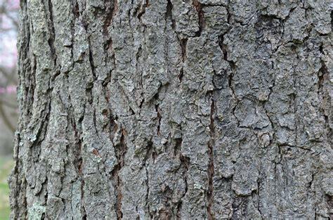 Bark of the kentucky coffee tree, gymnocladus dioicus. File:Kentucky Coffee Tree Gymnocladus dioicus Horizontal ...