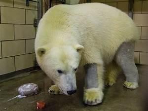 A shaved polar bear! Buffalo Zoo's Luna celebrating her ...