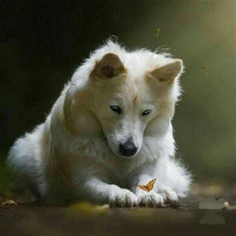 curiosidades sobre os lobos  artico pets em geral