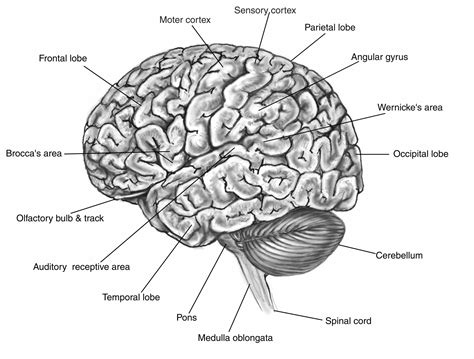 labeled brain black and white brain diagram labeled black and white similiar black and