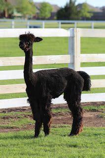 Best Images About Llamas Alpacas Sheep Goats