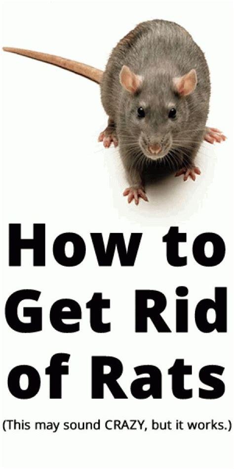 rats rid rat mice mouse traps garden trap getting control fast someone pest eliminating kill digitalmomblog read repellent vs mine