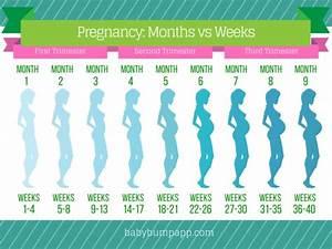 Pregnancy Months Vs Weeks  I Timeline Of Bumps