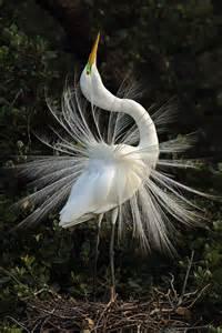 Great Egret Florida Everglades National Park