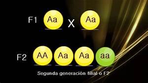 Mendel U0026 39 S Second Law