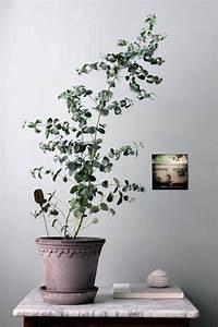 Eucalyptus En Pot : un eucalyptus pour no l jardiner en ville ~ Melissatoandfro.com Idées de Décoration