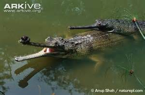 Male Gharial Crocodile Pictures