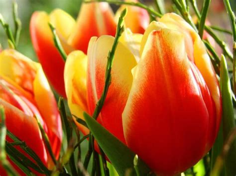 how to care for tulips tulips how to plant grow and care for tulip flowers the old farmer s almanac