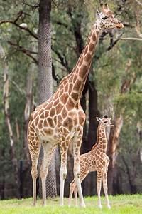 Baby Giraffe Arrives With the New Year - ZooBorns  Giraffe