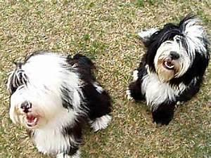 Tibetan Terrier Puppies playtime - YouTube