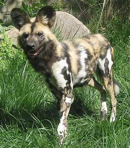 African Wild Dog Domestic Dog Mix