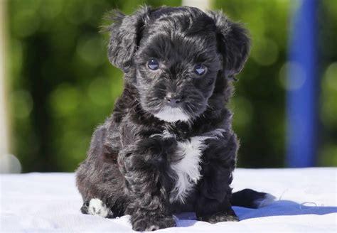 Moodle Puppies For Sale Chevromist Kennels Puppies Australia