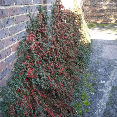 cotoneaster bowhayes trees store