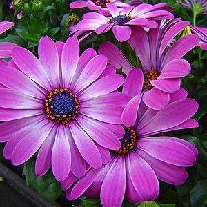 Lange Blühende Blumen by Kapmargerite Garten