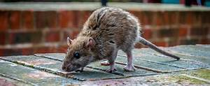 Maus Im Haus Was Tun : ratten im garten was tun free ratten wanderratte muridae genspireerd ratte im garten with ~ Orissabook.com Haus und Dekorationen