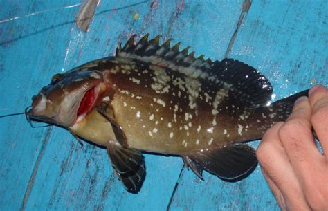 rockcod south yellowbelly fish african perch africa dusky fishing salt water photographs read