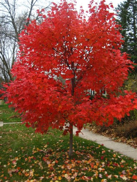 autumn blaze maple autumn blaze maple zone 3 trees pinterest