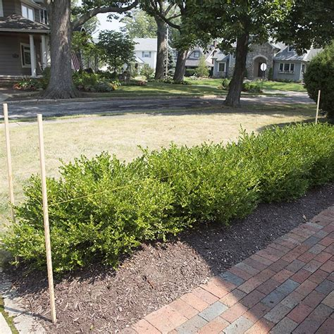 when to trim bushes how to prune trim and shape your shrubs