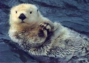 How do sea otters keep warm? | How It Works Magazine