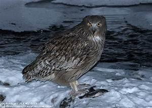 Blakiston's Fish Owl – Bubo blakistoni | tragopan-asie[.com]