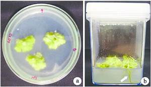 Callus Induction And Root Formation On Callus Cultures  A