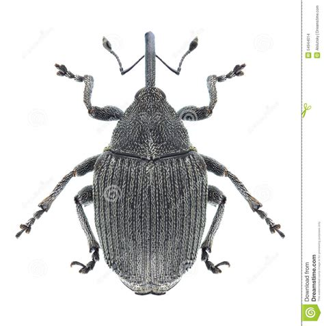 https://www.dreamstime.com/stock-photo-beetle-ceutorhynchus-napi-white-background-image54944014