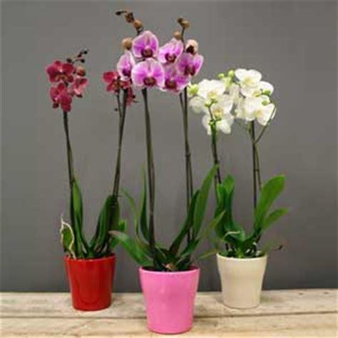 entretien orchidees en pot orchid 233 e phalaenopsis 2 tiges valentin pot