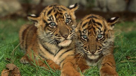 Hd Wallpapers Animals Tigers - two tigers on the grass hd animals wallpapers