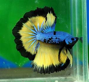 Blue mustard dragon   Betta Fish Love   Pinterest