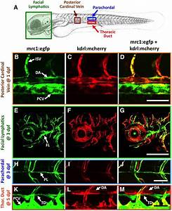 Development Of The Larval Lymphatic System In Zebrafish