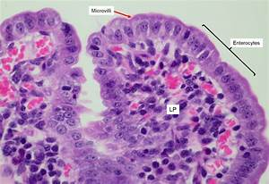 Small Intestine Histology Diagram