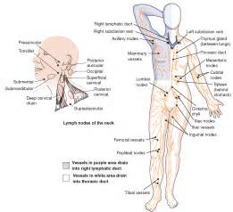 The Hematologic and Lymphatic Systems (Structure and Function ...  Immune System Lymph Nodes