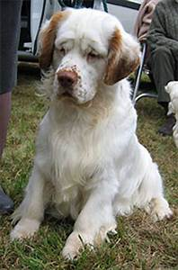 Northern Weight Chart Clumber Spaniel Dog Sporting Dog Breeds Online Dog