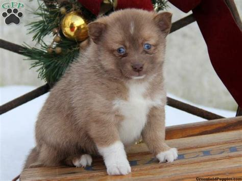 Does A Pomsky Shed A Lot by Pomsky Puppies For Sale In Pa Breeds Picture
