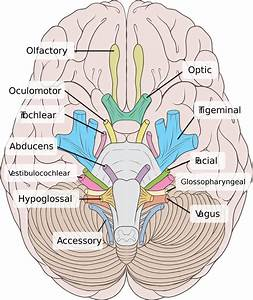 Anatomy And Physiology Study Guide  Human Brain Nerve