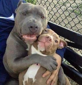1852 Best images about For the Love of Pitbulls on ...