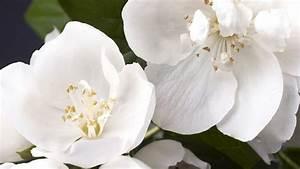 Jasmin Pflanze Winterhart : jasmin wohlriechende pflanze aus der jasmin l f r die aromatherapie oder parf m gewonnen wird ~ Frokenaadalensverden.com Haus und Dekorationen
