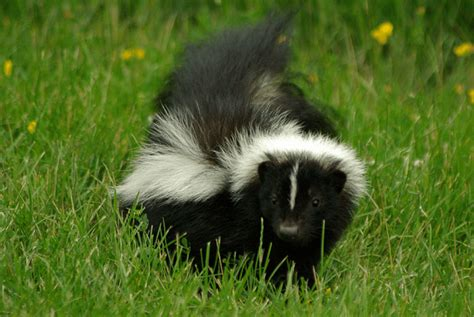 sprayed by skunk what to do if you or a family member gets sprayed by a skunk chimney and wildlife