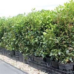 Laurel Bay Nursery portuguese laurel hedge plants prunus lusitanica hedging