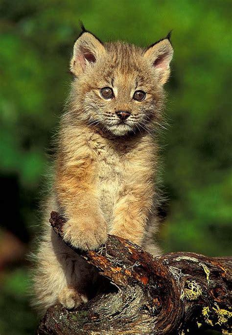 Lynx Kitten 5x7 Matted Animal Photography Wildlife Nature