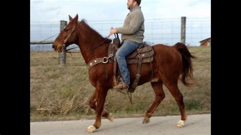 horse quarter built sorrel gaited kentucky mountain gelding