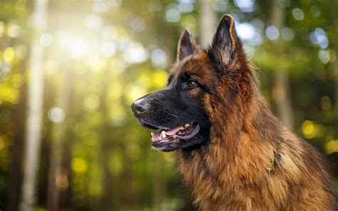 german shepherd hd wallpaper background image