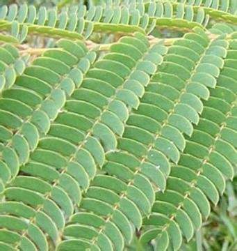 si鑒e de constantinople acacia de constantinople albizia julibrissin arbre à soie