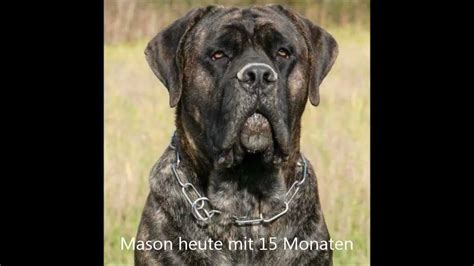 cane corsodogo canario mix mason youtube